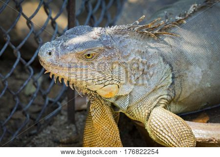 Image of a Iguana in the cage. Amphibians animals.