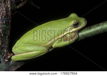 A Gree Tree Frog, Hyla cinerea posing on a tree limb at night