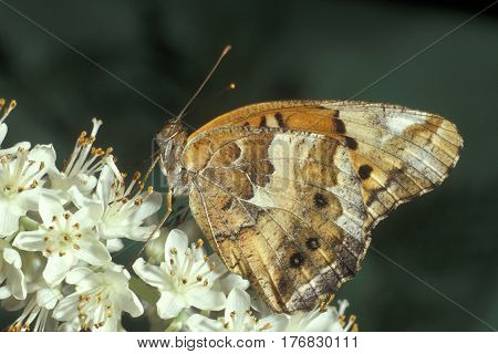 A Variegated Fritillary, Euptoieta claudia sits on a white flower