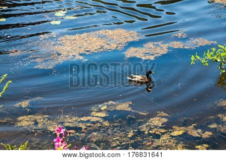 A duck swimming on a river with reflection