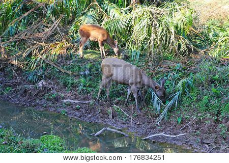 Travel to National Park Khao Yai Thailand. The deers near the river on the watering place.