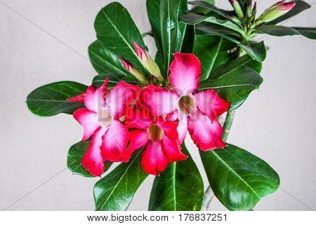Closeup to Desert Rose Impala Lily Adenium