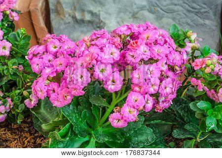 Closeup to Pink Kalanchoe Blossfeldiana Stone Rose
