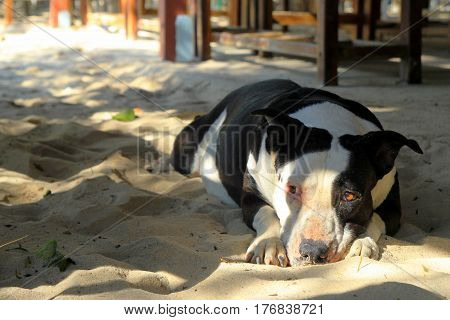 Travel to island Koh Larn Thailand. The resting dog on the sand beach.