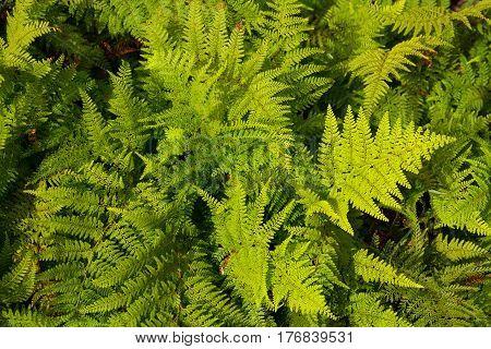 New Zealand Aotearoa green silver fern background