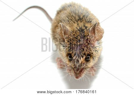 house mouse (Mus musculus) on white background Close-up above