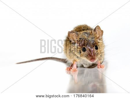 house mouse also called field mouse (Mus musculus) on white background facing camera. with reflection