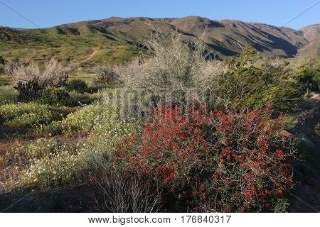Large red chuparosa bush and other flowers after winter rains in huge wildflower bloom in the Anza Borrego Desert, California.