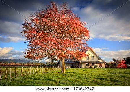 Red tree and a farm house. Location: New Zealand Aotearoa