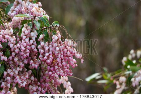 focus on pink pieris japonica with blurred background