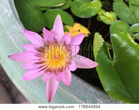 This beautiful waterlily or lotus flower is complimented by the drak colors of the deep blue water surface. Saturated colors and vibrant detail make this an almost surreal image.