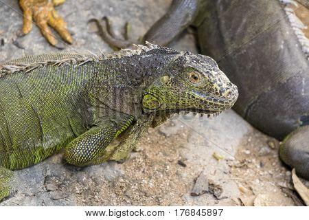 Image of a iguana on nature background. Wild animals.