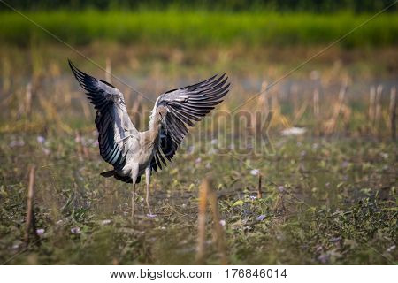 Image of asian openbill stork on nature background. Wild Animals.