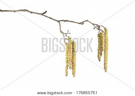 Alder branch with catkins isolated on white background