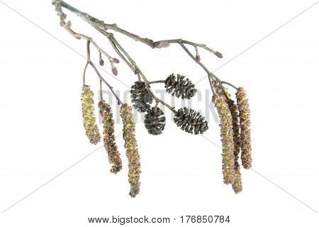 Alder branch with catkins isolated on white background. Branch of black alder (Alnus glutinosa) with male inflorescence and mature cones