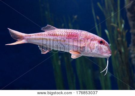 Striped red mullet seen from the side in its natural habitat