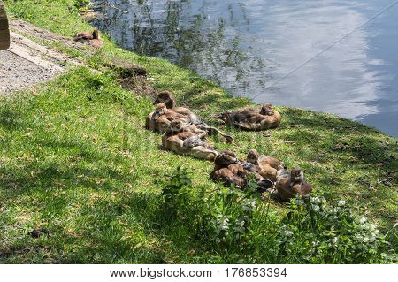 Duck family lying in the grass on the banks of a small lake.