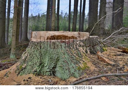stump of a large tree felled South Bohemia Czech Republic