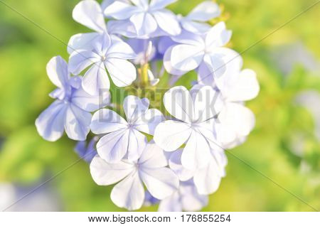 cape leadwort or white plumbag flower (Plumbago auriculata)