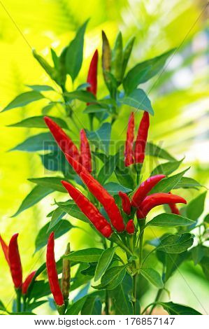 red chili plant with  bright green foliage
