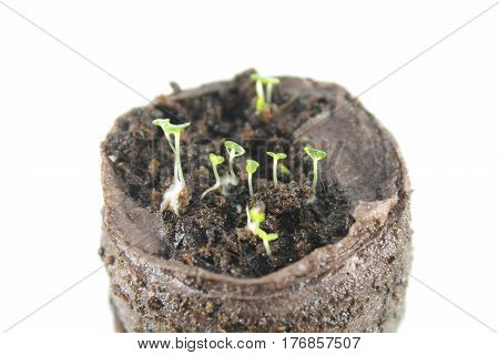 Seedling in a peat tablet isolated on white background. Seedling of thyme isolated on white background