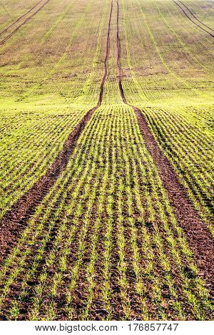 Spring Field With Germinating Grain In Lines