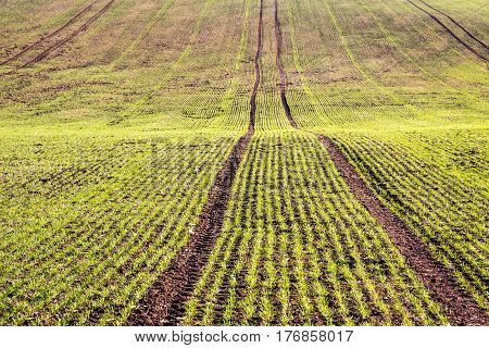Texture Of Spring Field With With Germinating Grain