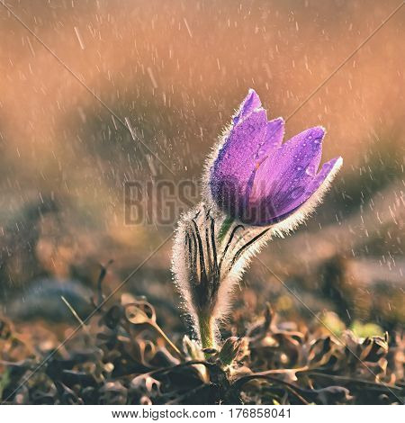 Spring flowers. Beautifully blossoming pasque flower in the rain and sun. Natural colored background. (Pulsatilla grandis)