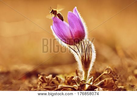 Spring flower. Beautifully blossoming pasque flower and sun with a natural colored background. (Pulsatilla grandis). Bee flies from flower plants in a meadow.