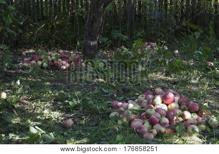 Red apples on grass under the apple-tree