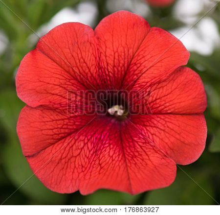 Bright red petunia over green leaves background