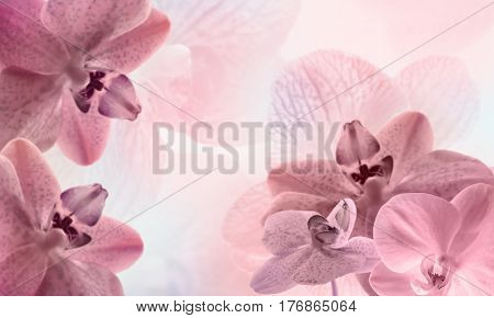 Sweet rose color orchids in soft style for background