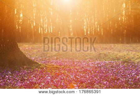 Field of wild purple crocuses with oaks trees valley at sunset. Beauty of wildgrowing spring flowers crocus blooming in spring