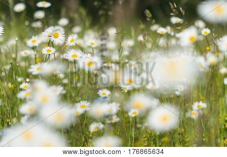 Field of chamomile flowers with soft background