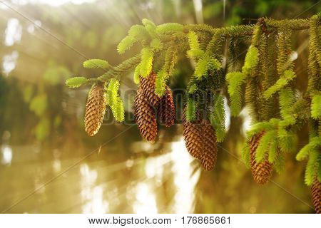 Fir cones on green trees. In the forest in the summer.