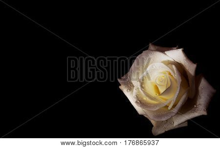 Beautiful white rose with water drops on black