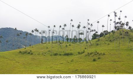 Landscape In The Cocora Valley With Wax Palm, Between The Mountains Of The Cordillera Central In Col
