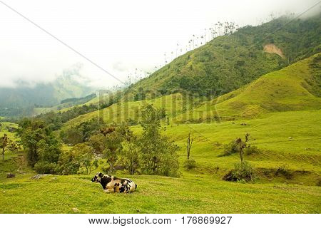 Cows Grazing In The Valley Of Cocora, Quindio Province, Between The Mountains Of The Central Cordill