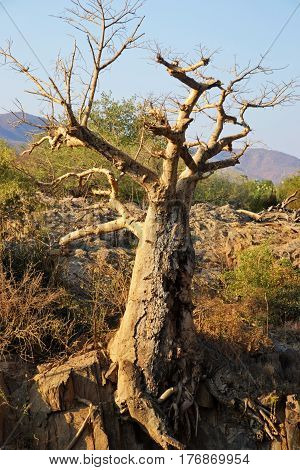 Baobab is the common name for each of the nine species of tree in the genus Adansonia.