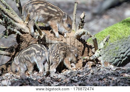 portrait of cute little boar piglets in a wildpark