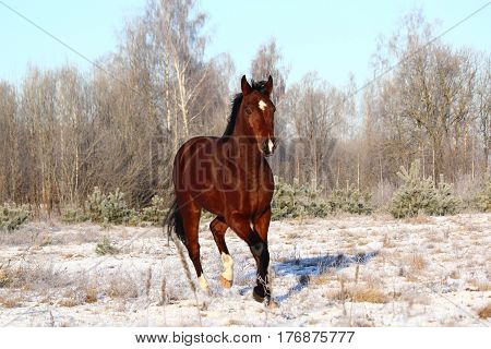 Bay Horse Trotting At The Field