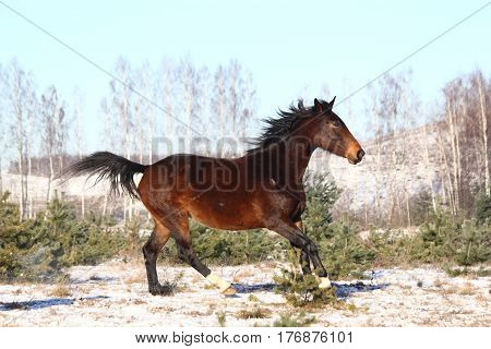 Beautiful Brown Horse Running Free