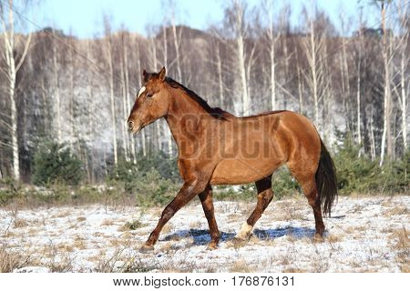 Chestnut horse trotting free in winter at the field