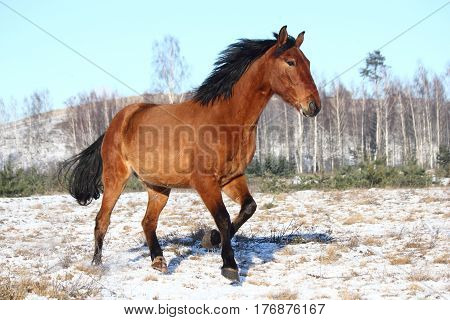 Beautiful horse galloping free in winter at the field