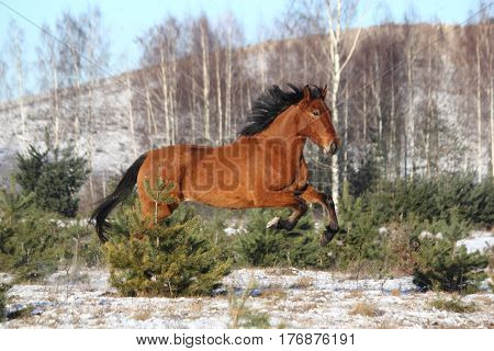 Beautiful bay horse galloping free in winter