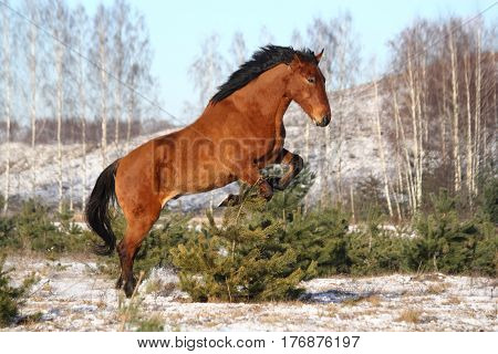 Wild horse jumping playfully in winter at the field