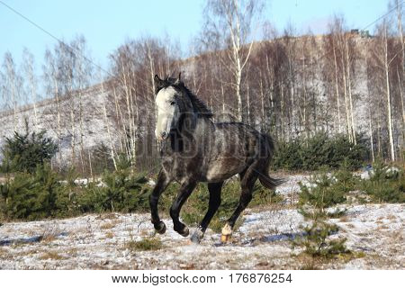 Gray Wild Horse Galloping Free