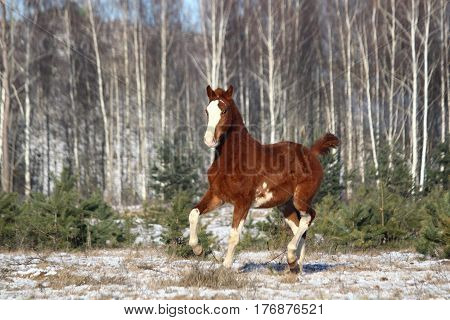Chestnut Colt Trotting At The Field
