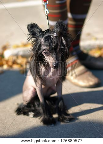 The Chinese Crested Dog portrait, dog show