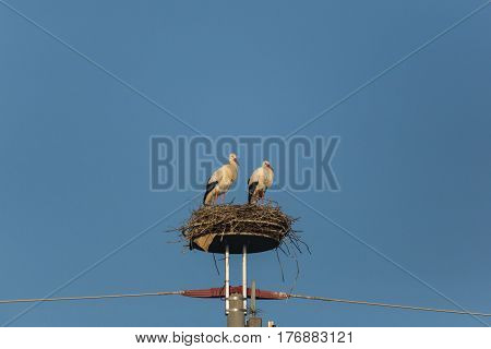 Two White Storks (ciconia Ciconia) Standing In Nest With Blue Sky